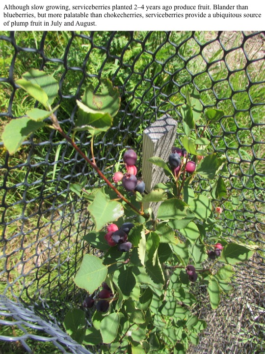 Although slow growing, serviceberries planted 2–4 years ago produce fruit.